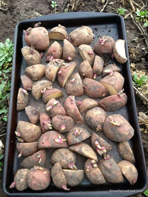 cut potato seeds for planting