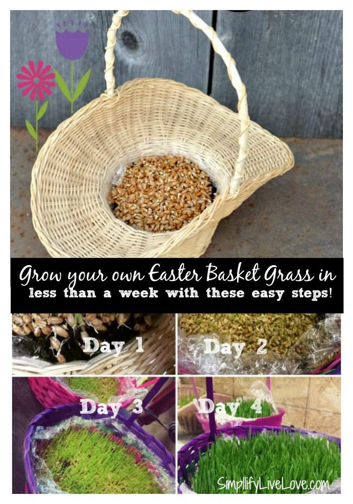 It's possible to grow your own Easter Basket Grass in less than a week! Get these easy steps here.