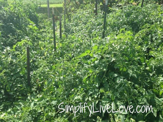 How to Make Strong & Effective Tomato Cages  - DIY Tutorial - typical tomato jungle {from SimplifyLiveLove.com}