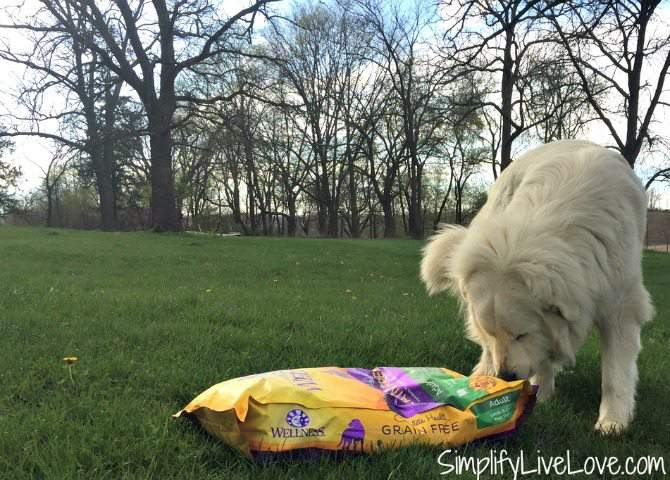 What you must know about feeding your Great Pyrenees for optimal health and performance.