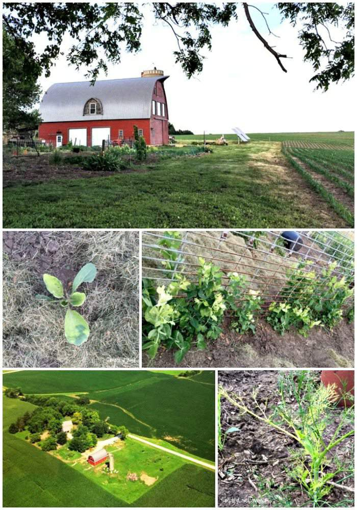 Collage of Round-Up Drift Damage in a letter imploring Big Ag to take steps to reduce round-up drift.
