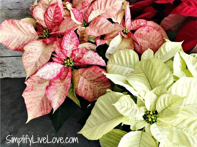 5 Must Know Tips for Growing Poinsettias Indoors