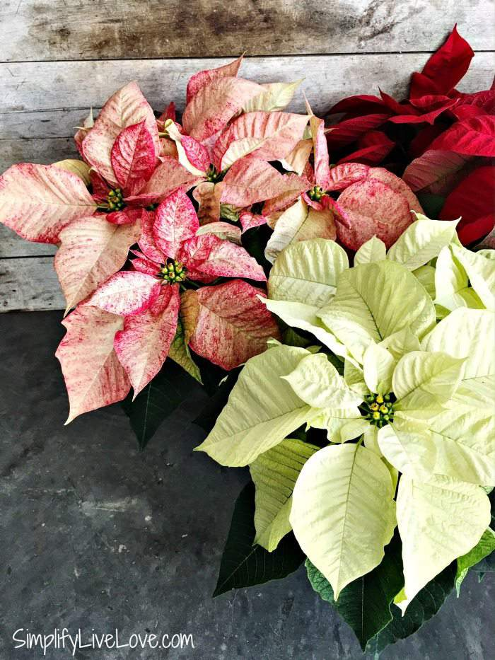 Grow Beautiful Poinsettias With These 5 Must Know Tips