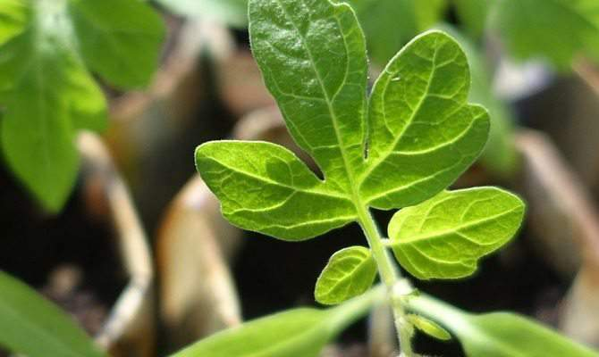 Where to Buy Heirloom Seedlings if You Can't Start Them Yourself