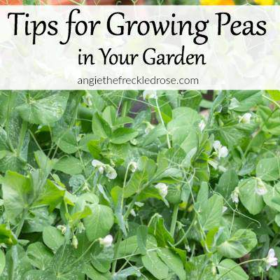 Tips for Growing Peas