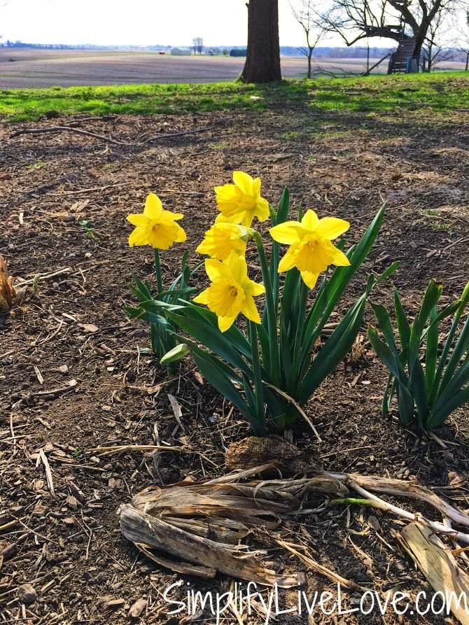 daffodils in Eastern Iowa