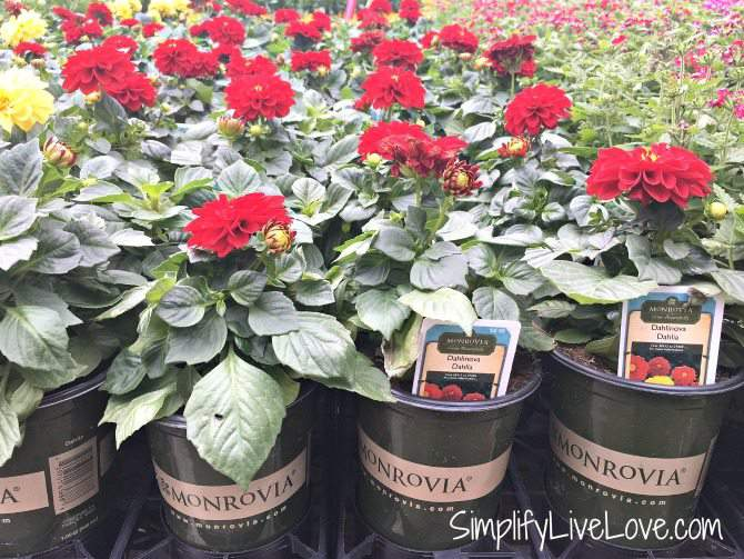 Monrovia Flower displays at Lowes