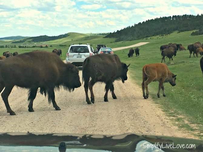 Herd of buffalo at Custer State Park Wildlife Loop Road