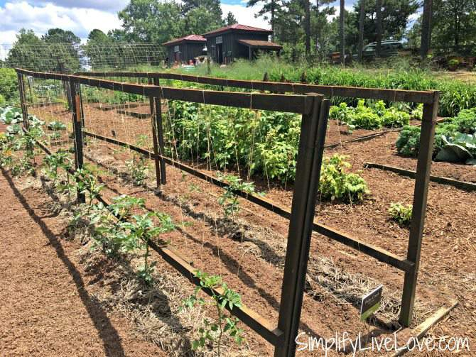 Tomato Trellis at Moss Mountain Farm
