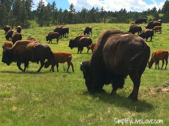 buffalo herd on the wildlife loop