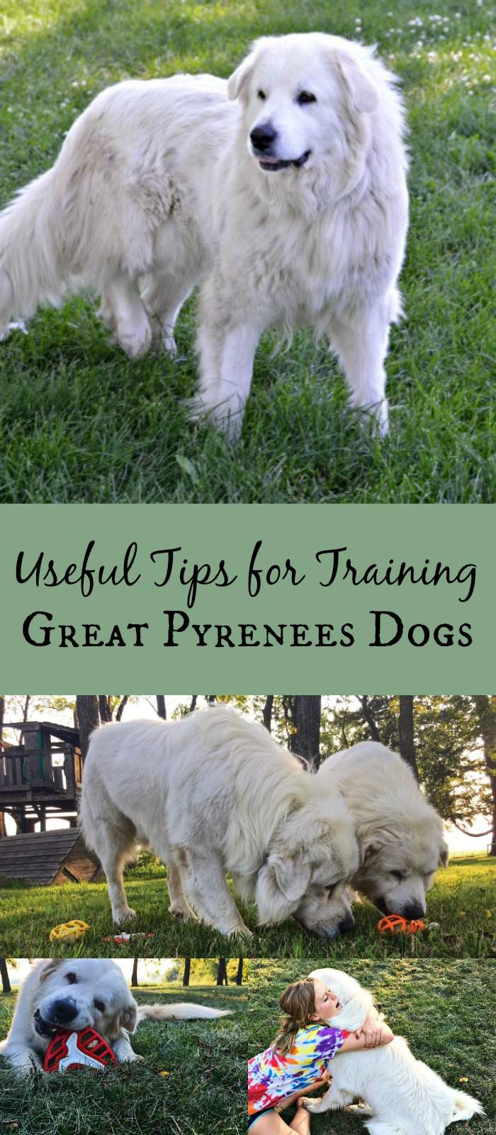 Useful Tips for Training Great Pyrenees Dogs pin